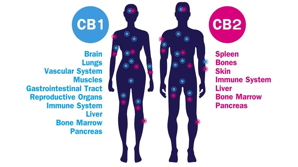 様々の疾患の原因は内因性カンナビノイド・システムの異常!?